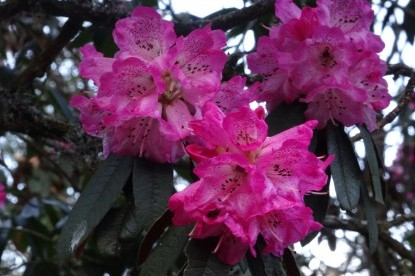 Rhododendron flowers at high altitude