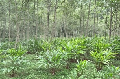 Cardamom plantation near Chirwa village.