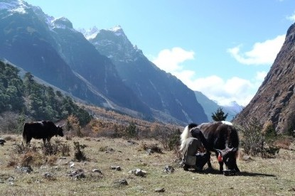 The yak herder is milking their Yaks at Khambachen.