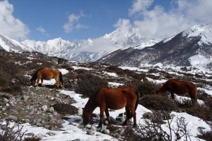 Horses .grazing in Langtang valley