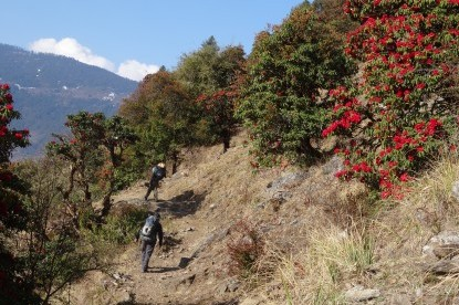 Trekking through rhododendron covered forests of Langtang.