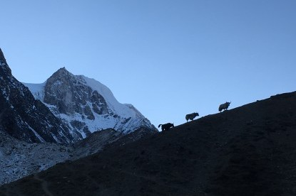 The Yaks at Larkya Phedi with Larkya peak in the background