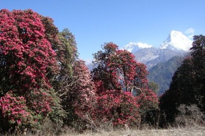 Rhododendron blossoms in forest of Ghorepani.